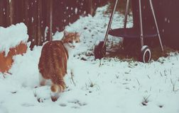 Ginger Snowbeast. Beautiful young ginger cat experiencing his first snow in the garden Royalty Free Stock Image