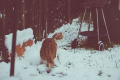 Ginger Snowbeast. Beautiful young ginger cat experiencing his first snow in the garden Royalty Free Stock Photos