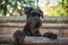 Beautiful young girl and her dog black schnauzer Royalty Free Stock Photo