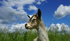 Beautiful young goat and grass and white clouds. Head and side profile of a sweet goat and grass and blue sky and white clouds Royalty Free Stock Photography