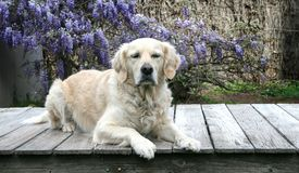 Beautiful young golden retriever is laying down on deck. Pretty golden retriever with her eyes slightly squinting is looking forward in front of wisteria vines Stock Image