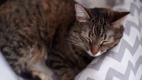 Beautiful young gray cat sleeping in her bed. Cat breathes and wags its mustache stock footage