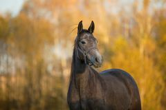 Free Beautiful Young Gray Horse In Autumn Royalty Free Stock Photo - 160732165