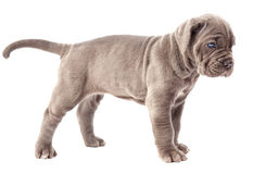 Beautiful young gray puppy italian mastiff cane corso (1 month). On white background Stock Photography