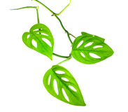 Beautiful young green monstera (var. expilata) branch isolated o Stock Images