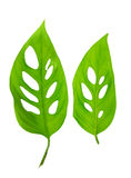 Beautiful young green monstera (var. expilata) leafs is isolated royalty free stock photography