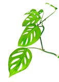 Beautiful young green monstera (var. expilata) twig is isolated Stock Image