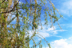 Beautiful young green willow tree leaves Royalty Free Stock Photo