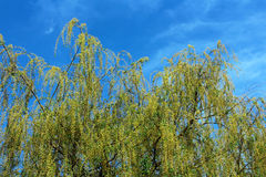 Beautiful young green willow tree leaves Stock Images