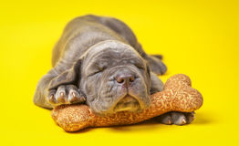 Beautiful young grey puppy italian mastiff cane corso (1 month). Sleeping on toy bone on yellow background Royalty Free Stock Image