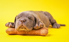 Beautiful young grey puppy italian mastiff cane corso (1 month). Sleeping on toy bone on yellow background Stock Image