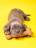 Beautiful young grey puppy italian mastiff cane corso (1 month). Sleeping on toy bone on yellow background Royalty Free Stock Images