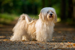 Beautiful young havanese dog is standing on a sunny forest path Stock Image
