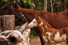 Beautiful young horse. Young horse with family in the farm Stock Images