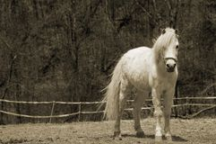 Beautiful young horse (sepia). A beautiful white foal staring in an attentive posture. With copy space Royalty Free Stock Images