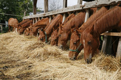 Beautiful young horses sharing hay on horse farm Stock Photography