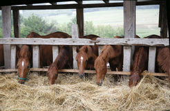 Beautiful young horses sharing hay on horse farm Stock Image