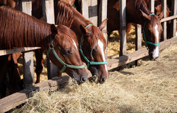 Beautiful young horses sharing hay on horse farm royalty free stock images