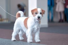 Puppy breed Jack Russell Terrier in the exhibition stock photography