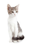 Beautiful Young Kitten Sitting on White Royalty Free Stock Image
