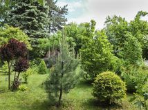 Beautiful young landscaped garden with decorative evergreens and lots of greenery. Austrian pine and Thuja occidentalis in foregro. Und. Cotinus coggygria Royal stock photos