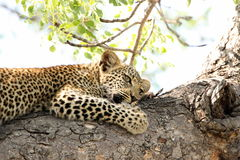 Beautiful young leopard in tree in South Africa. Beautiful young leopard lying in tree in South Africa Stock Photography