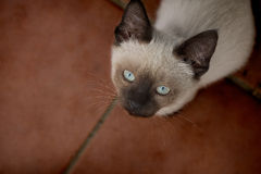 Beautiful young light brown and blue eyes cat looking up.  Royalty Free Stock Image