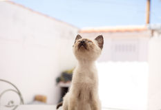 Beautiful young light brown cat looking up Royalty Free Stock Images