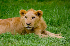 Beautiful young lion resting on grass Stock Photos