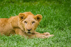 Beautiful young lion resting on grass Stock Images