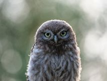 Beautiful young Little-owl stock images