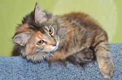 Beautiful young maine coon cat Stock Photos