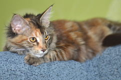Beautiful young maine coon cat Stock Images