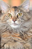 Beautiful young maine coon cat Royalty Free Stock Photos