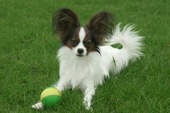 Beautiful young male dog Continental Toy Spaniel Papillon with ball on green lawn. Beautiful young male dog Continental Toy Spaniel Papillon with ball on a green royalty free stock image