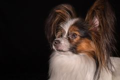 Beautiful young male dog Continental Toy Spaniel Papillon on black background. Beautiful young male dog Continental Toy Spaniel Papillon on a black background Royalty Free Stock Photos