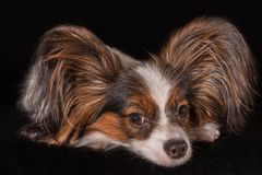 Beautiful young male dog Continental Toy Spaniel Papillon on black background Stock Photography