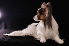 Beautiful young male dog Continental Toy Spaniel Papillon on black background. Beautiful young male dog Continental Toy Spaniel Papillon on a black background stock photo