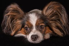 Beautiful young male dog Continental Toy Spaniel Papillon on black background. Beautiful young male dog Continental Toy Spaniel Papillon on a black background Royalty Free Stock Photography