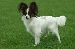 Beautiful young male dog Continental Toy Spaniel Papillon on green lawn. Beautiful young male dog Continental Toy Spaniel Papillon on a green lawn stock photos