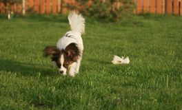 Beautiful young male dog Continental Toy Spaniel Papillon on green lawn. Beautiful young male dog Continental Toy Spaniel Papillon on a green lawn Stock Images