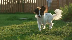 Beautiful young male dog Continental Toy Spaniel Papillon on green lawn. Beautiful young male dog Continental Toy Spaniel Papillon on a green lawn Stock Photography