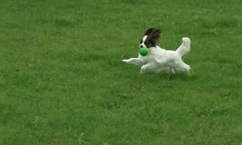 Beautiful young male dog Continental Toy Spaniel Papillon playing with ball on green lawn. Beautiful young male dog Continental Toy Spaniel Papillon playing with stock photography