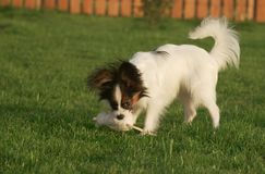 Beautiful young male dog Continental Toy Spaniel Papillon playing with plush toy on green lawn. Beautiful young male dog Continental Toy Spaniel Papillon playing stock photo