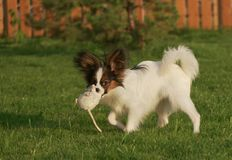 Beautiful young male dog Continental Toy Spaniel Papillon playing with plush toy on green lawn. Beautiful young male dog Continental Toy Spaniel Papillon playing royalty free stock photos