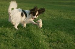 Beautiful young male dog Continental Toy Spaniel Papillon playing with plush toy on green lawn. Beautiful young male dog Continental Toy Spaniel Papillon playing Royalty Free Stock Photography