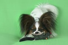Beautiful young male dog Continental Toy Spaniel Papillon with plush toy on green background. Beautiful young male dog Continental Toy Spaniel Papillon with Stock Photos