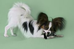 Beautiful young male dog Continental Toy Spaniel Papillon with plush toy on green background. Beautiful young male dog Continental Toy Spaniel Papillon with Stock Images