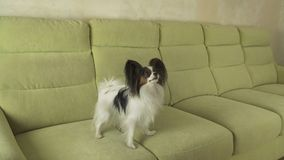 Beautiful young male dog Papillon on couch. Beautiful young male dog Papillon on the couch stock photo