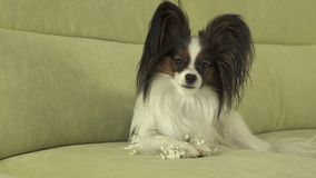 Beautiful young male dog Papillon on couch. Beautiful young male dog Papillon on the couch Royalty Free Stock Image